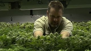 'This Week': Marijuana in Colorado