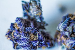 purple fantasy marijuana
