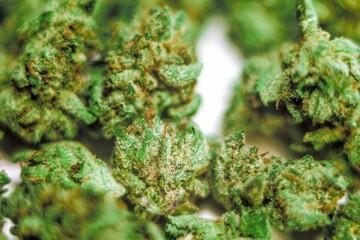 Master Kush Cannabis